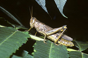 Differential grasshopper (Melanoplus differentialis) can be a pest and is also the intermediate host to parasitic worms of poultry, New Jersey, USA  -  Premaphotos