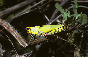 Variegated grasshopper (Zonocerus variegatus) showing warning colouration, in rainforest, Gambia  -  Premaphotos