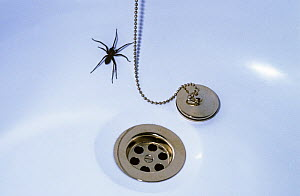 Cobweb spider female (Tegenaria duellica) trapped in a bath having fallen into it, UK  -  Premaphotos
