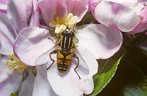 Common tiger hover fly (Helophilus pendulus) on apple blossom, UK  -  Premaphotos