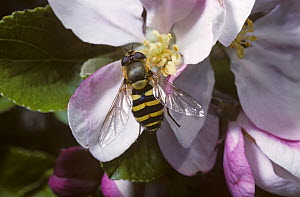 Yellow-legged moustached icon hover fly (Syrphus ribesii) feeding from apple blossom, UK - Premaphotos
