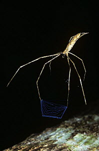 Net-casting spider (Deinopis longipes) poised ready to trap prey with its net at night in rainforest, Costa Rica - Premaphotos