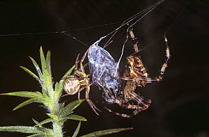 Common crab spider (Xysticus cristatus) female (left) feeding on a fly it has found in the web of a Garden spider (Araneus diadematus) (right) UK  -  Premaphotos