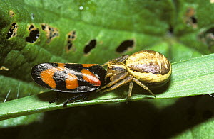 Common crab spider (Xysticus cristatus) female feeding on Black-and-red froghopper (Cercopis vulnerata) UK  -  Premaphotos