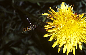 Marmalade icon hover fly (Episyrphus balteatus) female flying to Dandelion flower, UK - Premaphotos