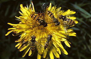 Marmalade icon hover fly (Episyrphus balteatus) males and females on Dandelion flower, UK - Premaphotos