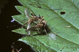 Banded mosquito (Culiseta annulata) males with feathery antennae inflated holding on to a female after failing to mate in mid air, UK  -  Premaphotos
