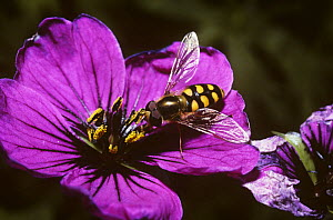 Yellow-rimmed icon hover fly (Metasyrphus corollae) on flower, UK - Premaphotos