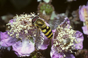 Clear-winged moustached icon hover fly (Syrphus vitripennis) on a bramble flower, UK - Premaphotos