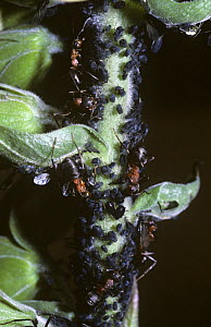 Wood ant (Formica rufa) tending aphid farm on a Sallow shoot, UK  -  Premaphotos