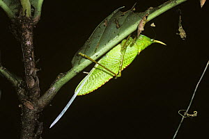Cone-headed katydid (Copiphora rhinoceros) female showing her very long ovipositor in rainforest, Costa Rica - Premaphotos