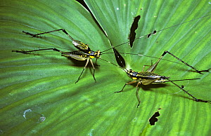 Diurnal cricket (Nisitrus sp) male on the left 'singing', with raised wings as he courts the female on the right, in rainforest, Sumatra  -  Premaphotos