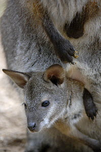 Red-necked wallaby (Macropus rufogriseus rufogriseus) joey looking out of pouch. Captive, IUCN red list of endangered species  -  Eric Baccega