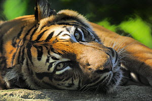 Sumatran tiger (Panthera tigris sumatrae) resting. Captive, IUCN red list of endangered species  -  Eric Baccega