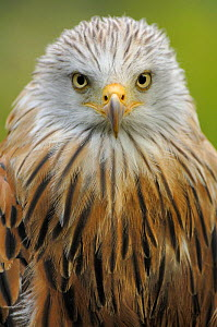 Red kite (Milvus milvus), IUCN red list of endangered species captive, France - Eric Baccega