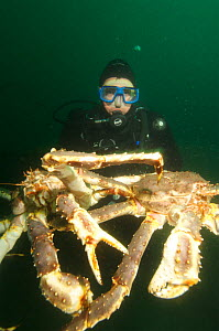 Diver holding two Giant red king crabs {Paralithodes camtschaticus} Kirkiness, Norway  -  Dan Burton