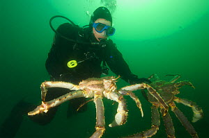Diver with two Giant red king crabs {Paralithodes camtschaticus} Kirkiness, Norway  -  Dan Burton