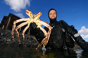 Diver coming to the surface with Giant red king crab {Paralithodes camtschaticus} Kirkiness, Norway  -  Dan Burton