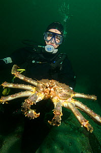 Diver with Giant red king crab {Paralithodes camtschaticus} Kirkiness, Norway  -  Dan Burton