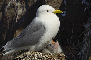 Kittiwake {Rissa tridactyla} adult and chick on nest, Staple Island, Farne Islands, UK - Warwick Sloss
