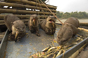Smooth indian river otters {Lutra perspicillata} used by fishermen for catching fish, feeding on fish on boat, Ganges/Brahmaputra delta, Sunderbans, Bangledesh - Warwick Sloss