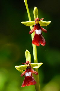 Fly Orchid (Ophrys insectifera), Emilia Romagna Region, Italy  -  Fabio Liverani