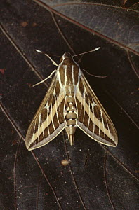 Striped hawkmoth {Hyles livornica} Gambia  -  Hans Christoph Kappel