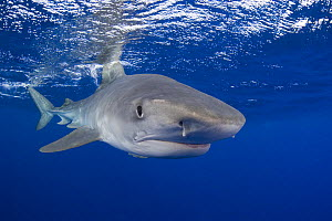 Tiger shark (Galeocerdo cuvier) portrait, North Shore, Oahu, Hawaii, USA, Central Pacific Ocean,  -  Doug Perrine