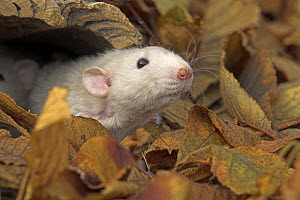Dumbo Fancy Rat {Rattus sp.} head portrait poking out of log amongst leaves, captive, UK - Colin Seddon