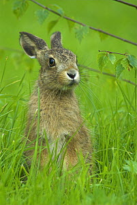 Brown hare {Lepus europaeus} 8-week leveret, UK - Colin Seddon