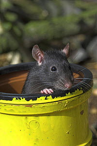 Black fancy rat {Rattus sp.} in pipe, captive, UK - Colin Seddon