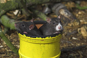 Fancy rats {Rattus sp.} in pipe, captive, UK - Colin Seddon