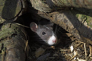 Fancy Rat {Rattus sp.} portrait amongst logs, UK - Colin Seddon
