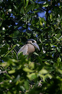 Boatbill / Boat billed heron (Cochlearius cochlearius) perched in Red mangrove tree (Rhizophora mangle) Belize  -  Doug Perrine