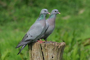 Two Stock doves {Columba oenas} perching on post, Warwickshire, UK  -  Mike Wilkes