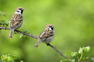 Tree sparrows {Passer montanus} perching on Bramble, Warwickshire, UK  -  Mike Wilkes