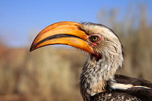 Southern Yellow-billed Hornbill {Tockus leucomelas} Kalahari Desert, Northern Cape, South Africa  -  John Waters