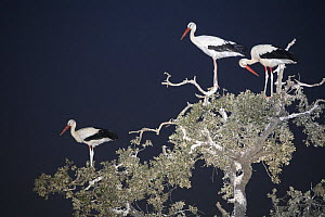 White storks (Ciconia ciconia) roosting in tree at night, Donana NP, Spain - Jose B. Ruiz
