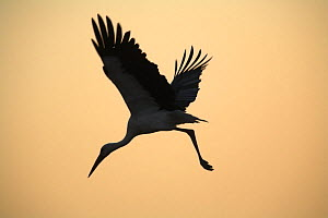 Silhouette of White stork (Ciconia ciconia) flying from tree at dawn, Donana NP, Spain - Jose B. Ruiz
