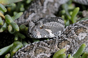 Female Southern Adder (Bitis armata) DeHoop Nature reserve, Western Cape, South Africa  -  Tony Phelps