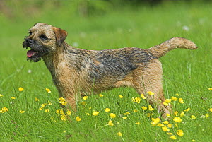 Border Terrier, 6-month puppy, standing in meadow, UK - Colin Seddon