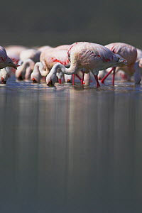 Lesser flamingo (Phoeniconaias minor) feeding, Lake Nakuru NP, Kenya - TJ Rich