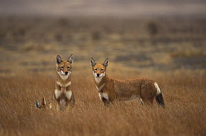 Simien jackal / Ethiopian wolf {Canis simiens} group in grass, Bale mountains, Ethiopia.  -  Andrew Harrington