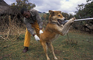 Dog being vaccinated against rabies to protect the Simien jackal / Ethiopian wolf population, Bale Mountains, Ethiopia.  -  Andrew Harrington
