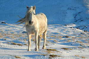 Welsh Pony {Equus caballus} Hay Bluff, Black Mountains National Park, Powys, Wales, UK, winter - Will Watson