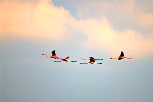 Five European Flamingos (Phoenicopterus ruber roseus) in flight against evening sky, delta region of the River Po, Italy - Fabio Liverani
