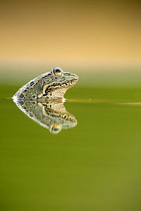 Marsh frog (Rana ridibunda perezii) reflected at water surface, Spain  -  Jose B. Ruiz
