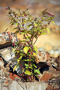 Castor oil plant (Ricinus communis) growing amongst rubble, Riotinto, Huelva, Spain - Jose B. Ruiz