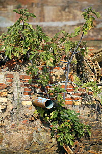 Fig tree (Ficus carica) growing out of rubble of disused mine building, Riotinto, Huelva, Spain - Jose B. Ruiz
