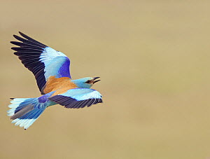 European Roller (Coracias garrulus) flying, Hungary May - Markus Varesvuo